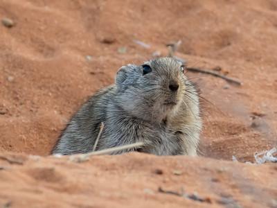 Brants's Whistling Rat