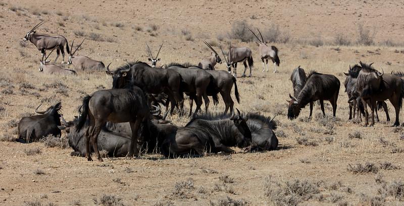 Blue Wildebeest & Gemsbok