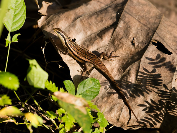 Many-striped Skink (Common Sun Skink)