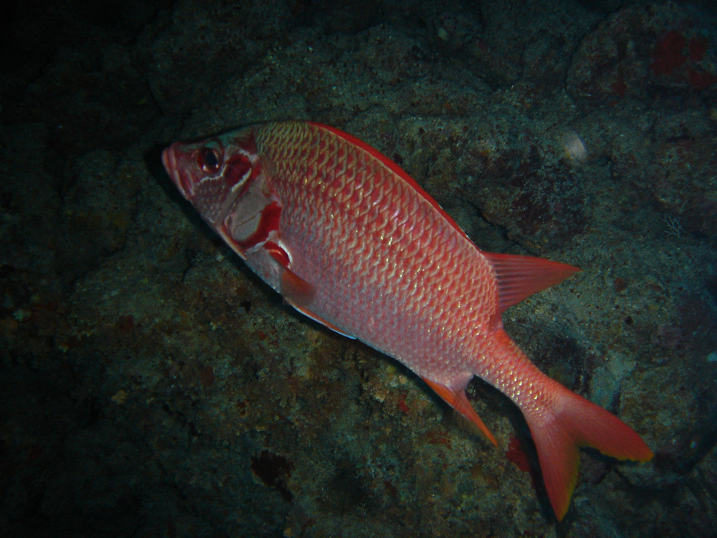 a 'redish' coloured fish
