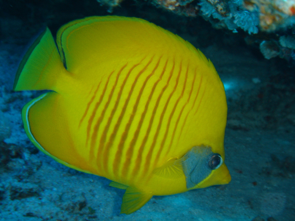 a 'yellow' fish (technical term)