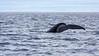 Whale watching (Húsavík, Iceland)