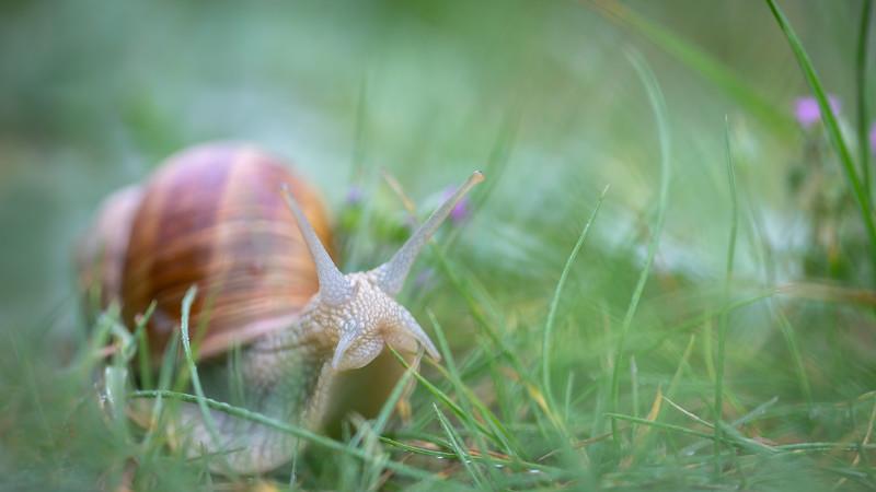 Burgundy snail / Helix pomatia / Wijngaardslak