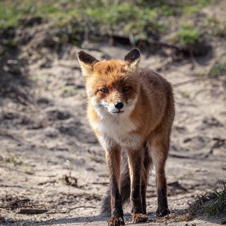 Red fox  /  Vulpes vulpes  /  Gewone vos