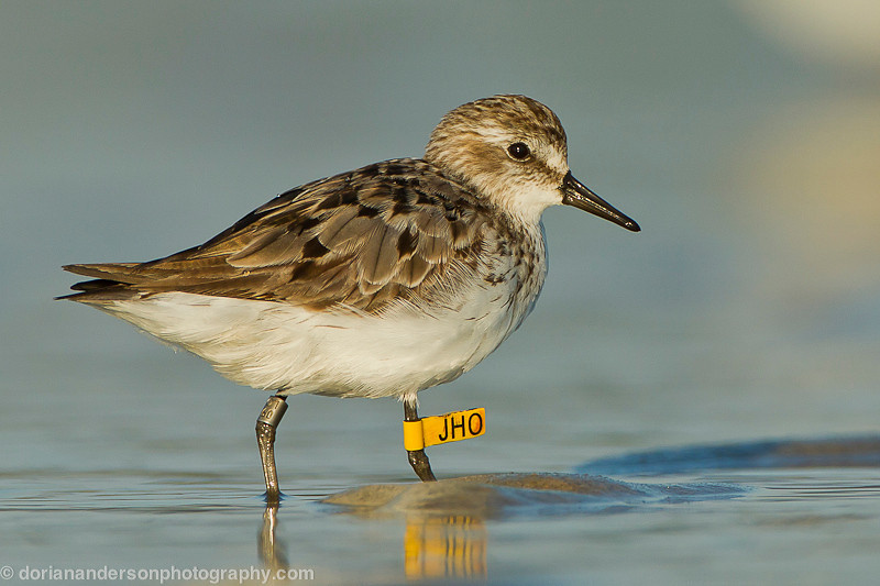 Semipalmated Sandpiper - BANDED