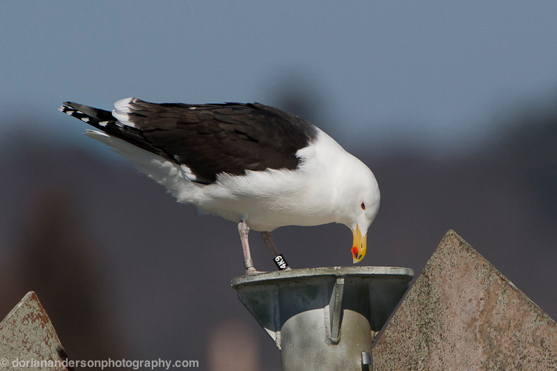 Great Black-Backed Gull - BANDED
