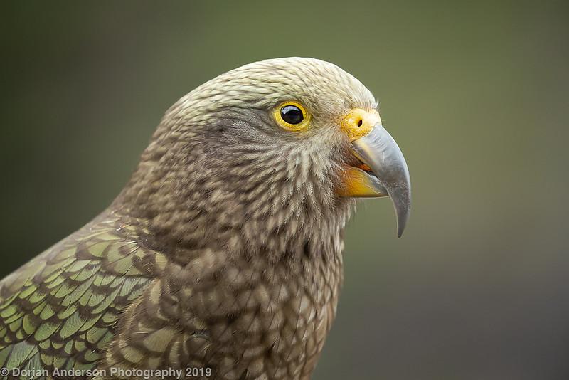 Kea (NZ endemic)