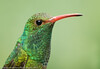 Rufous-tailed Hummingbird