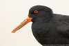 Variable Oystercatcher (NZ endemic)