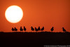 Sanderlings in Silhouette
