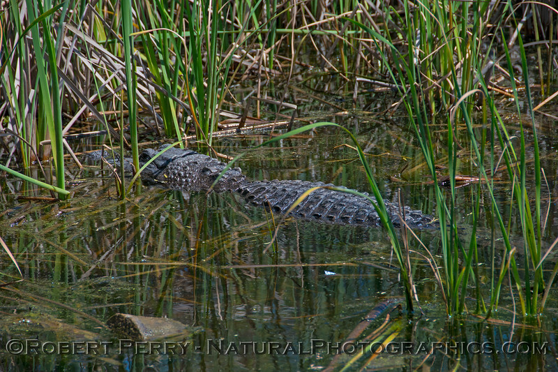 Alligator mississippiensis 2017 03-16 Aransas NWR TX-073