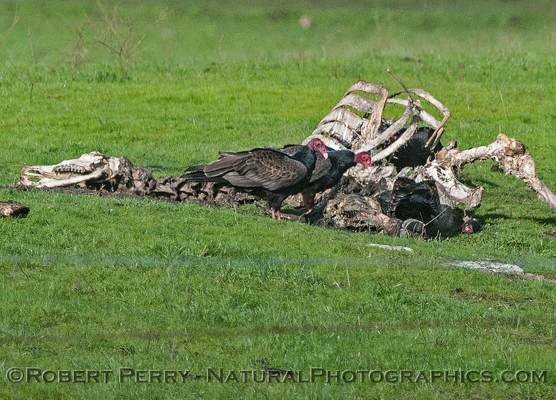 Turkey vultures feed on a carcass.  Later 2 bald eagles joined the banquet.