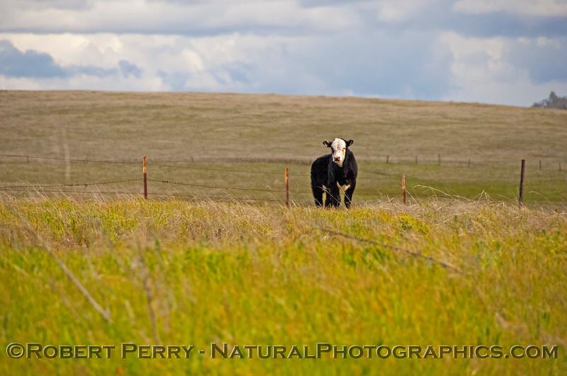 Bos taurus calf outside fence 2018 03-02 EDH-068