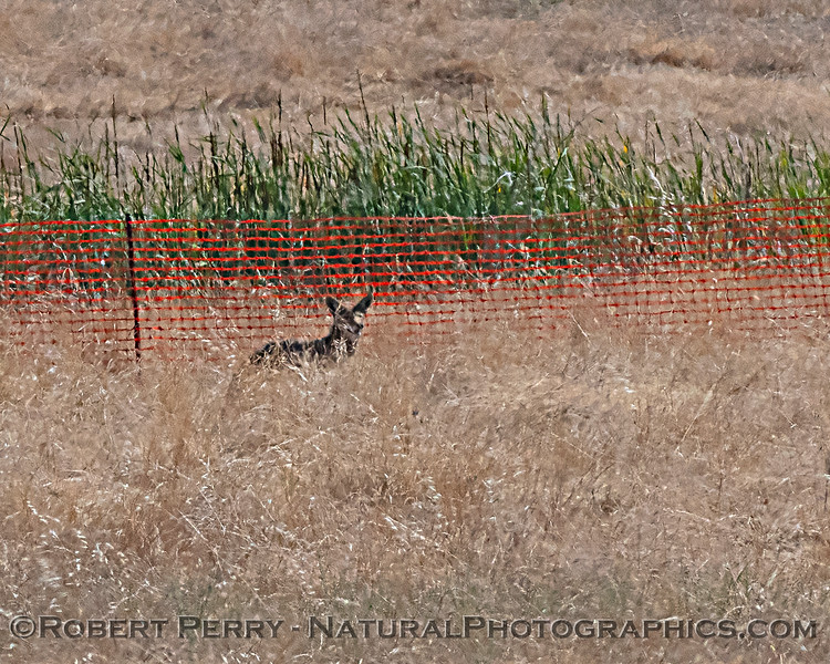 Canis latrans Coyote 2020 06-18 EDH-hawknest--009