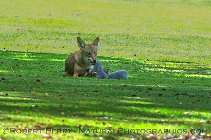 Canis latrans with squirrel 2017 09-20 Hoffmann Park-039