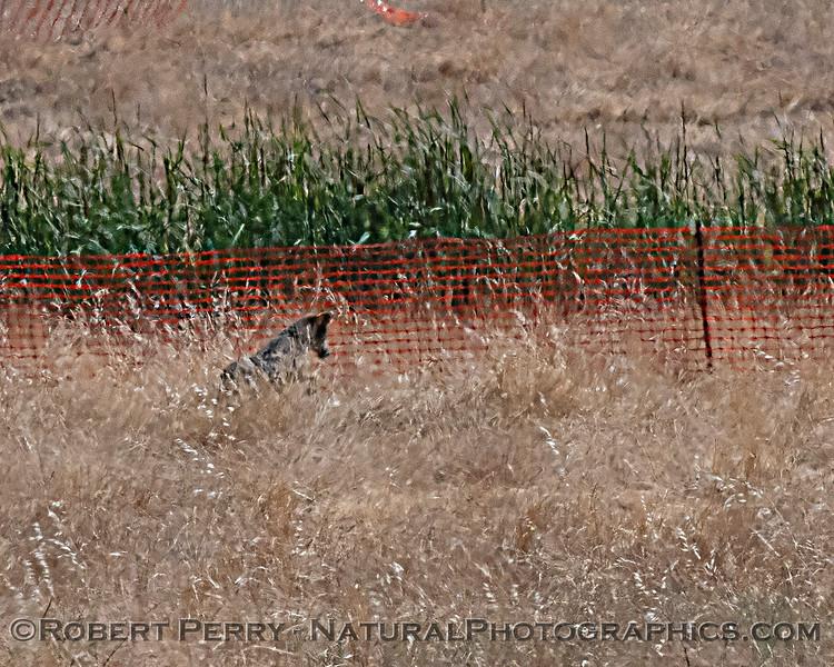 Canis latrans Coyote 2020 06-18 EDH-hawknest--005
