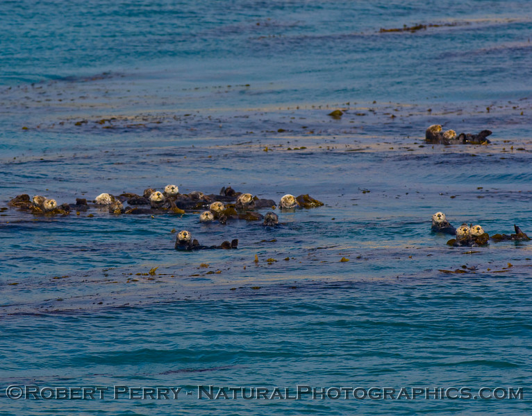 A herd of sea otters in kelp.