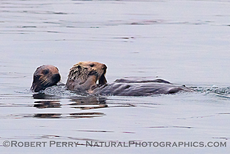 Enhydra lutris mother & pup 2018 04-26 Monterey Harbor--0006