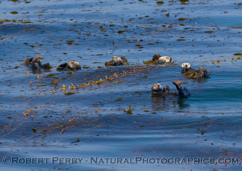 Six Enhydra lutris (sea otters) relaxing, tied up in the giant Macrocyctis (kelp).