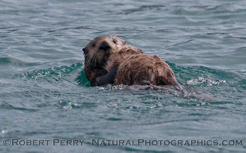 Mother and her pup, Sea Otters (Enhydra lutris kenyoni).