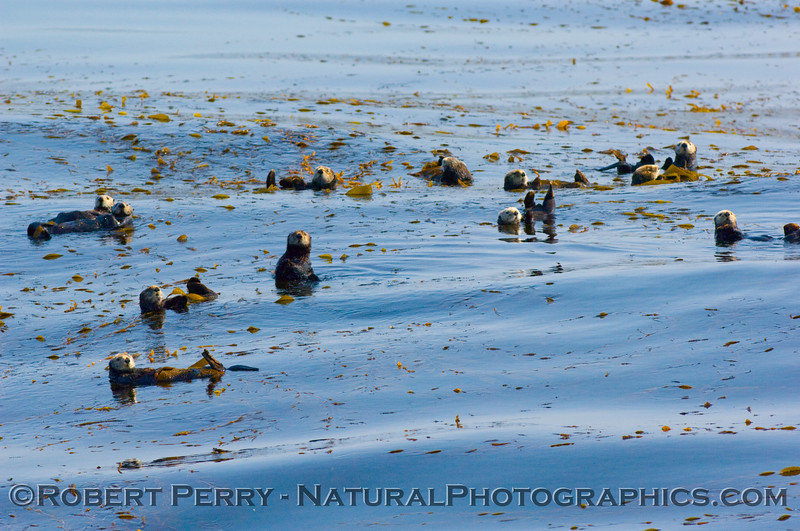 Approximately thirteen Enhydra lutris (sea otters) relaxing, tied up in the giant Macrocyctis (kelp).