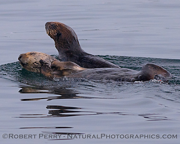 Enhydra lutris mother & pup 2018 04-26 Monterey Harbor--0072