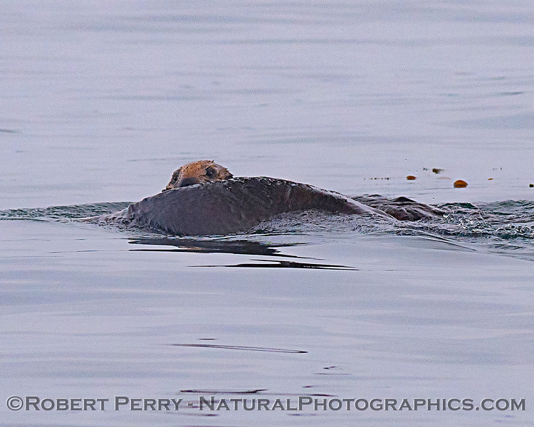 Enhydra lutris mother & pup 2018 04-26 Monterey Harbor--0023