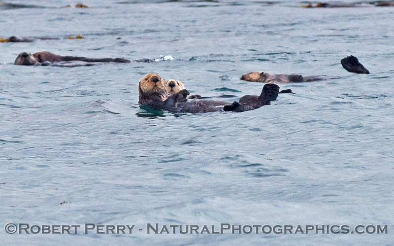 Sea Otters (Enhydra lutris kenyoni).
