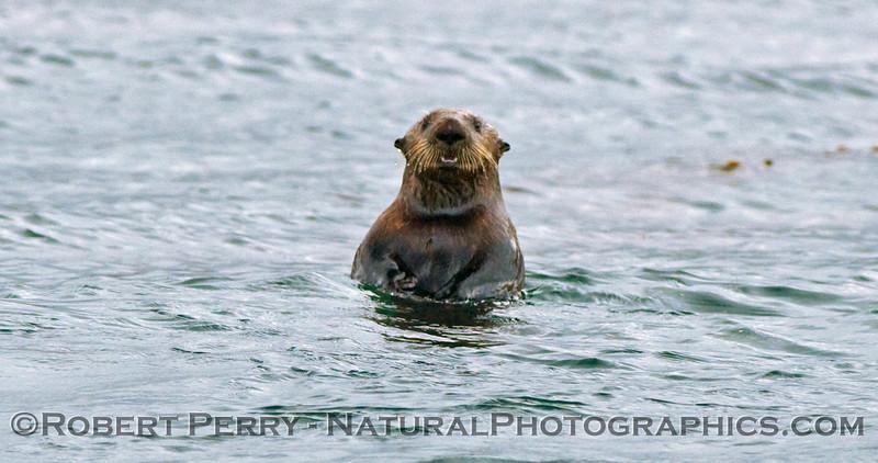 A Sea Otter (Enhydra lutris kenyoni).