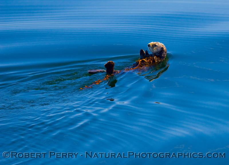 Swimming backwards with kelp.