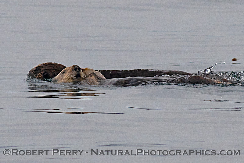 Enhydra lutris mother & pup 2018 04-26 Monterey Harbor--0025