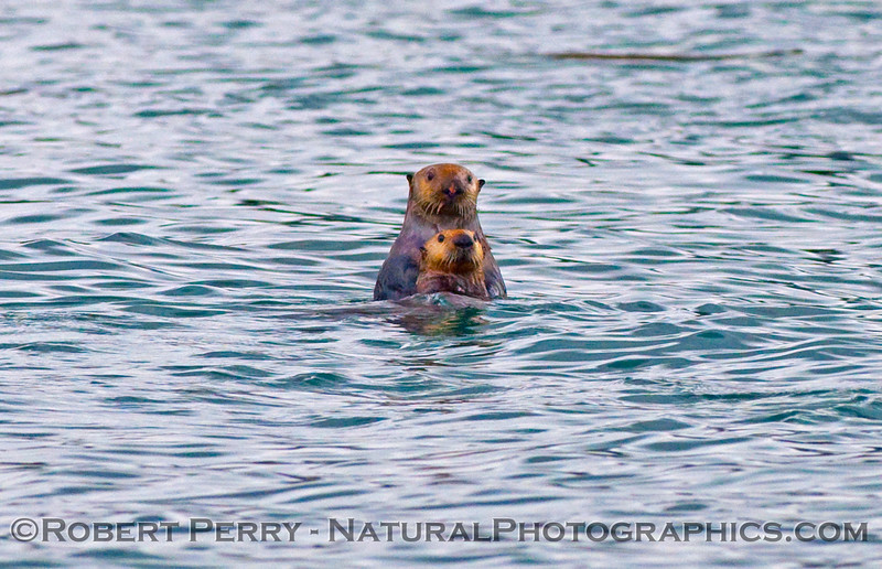 Two Sea Otters (Enhydra lutris kenyoni).
