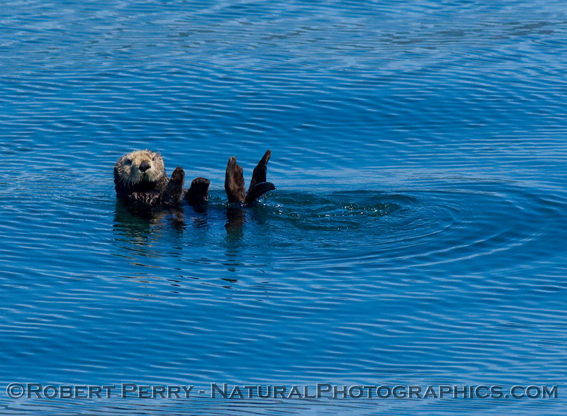Sea otter on a rippled sea.
