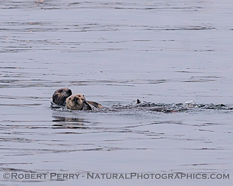 Enhydra lutris mother & pup 2018 04-26 Monterey Harbor--0004