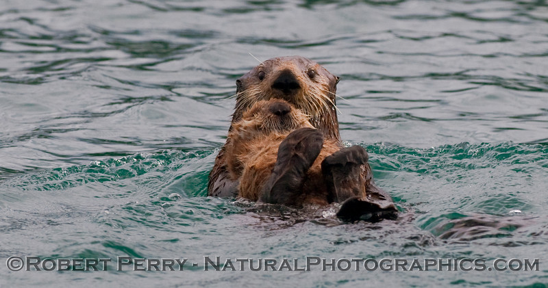 A Sea Otter (Enhydra lutris kenyoni) and her pup.