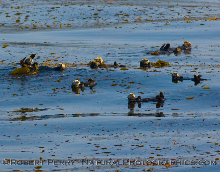 Eight Enhydra lutris (sea otters) relaxing, tied up in the giant Macrocyctis (kelp).