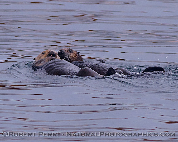 Enhydra lutris mother & pup 2018 04-26 Monterey Harbor--0089