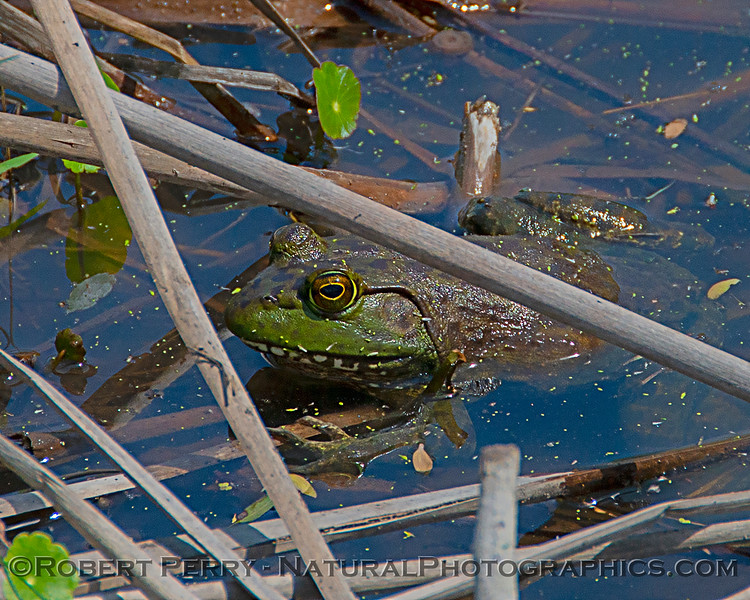 Spotted Chorus Frog (Pseudacris clarkii) - Aransas National Wildlife Refuge Texas