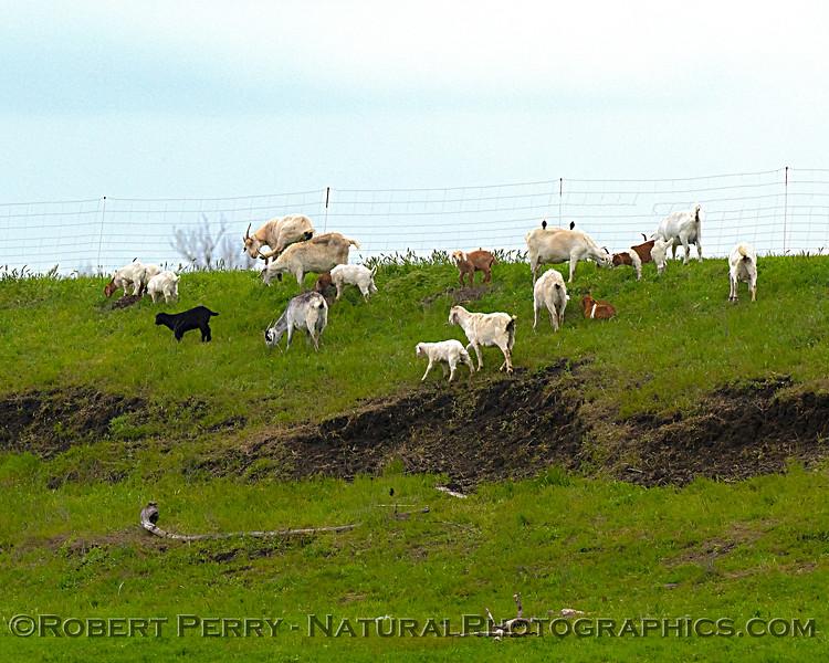 Capra aegagrus hircus Goats on levee 2020 04-06 Yolo ByPass-001