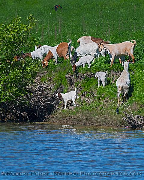 Capra aegagrus hircus goats on levee 2020 04-02 Yolo ByPass-043