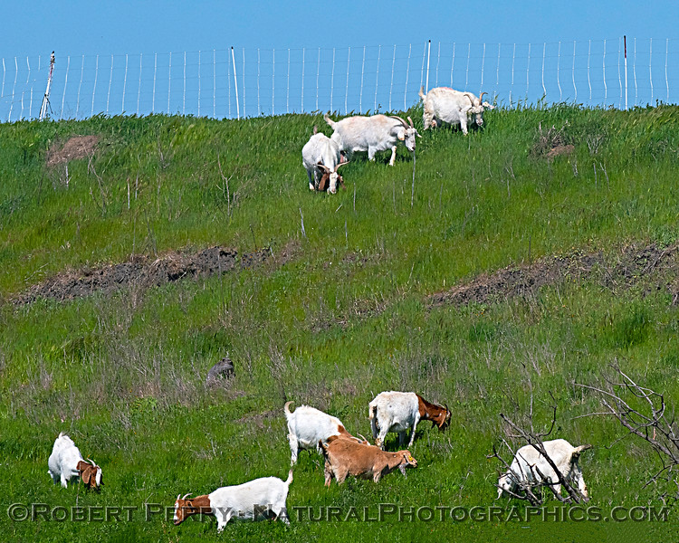 Capra aegagrus hircus goats on levee 2020 04-02 Yolo ByPass-031