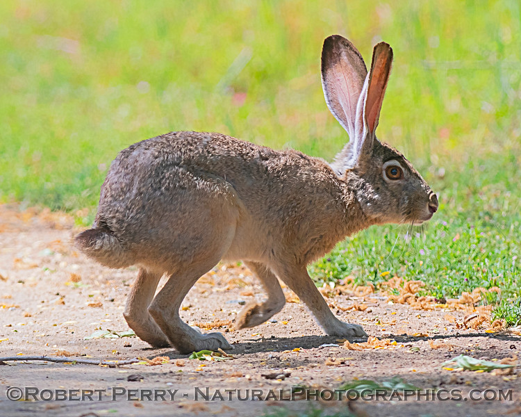 Lepus californicus black-tailed jackrabbit 2020 04-18 Sac NWR--042