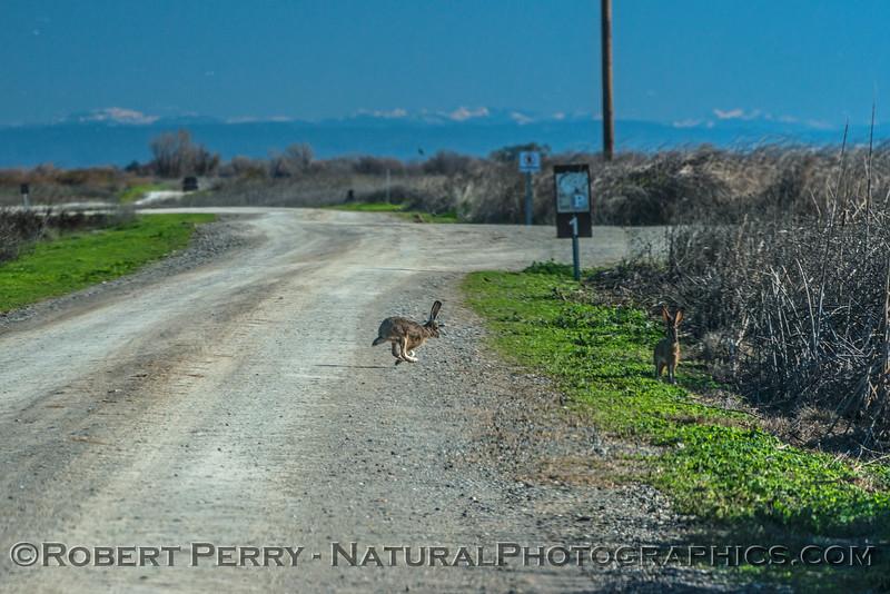 Lepus californicus jackrabbit 2016 12-18 Sacramento NWR-001