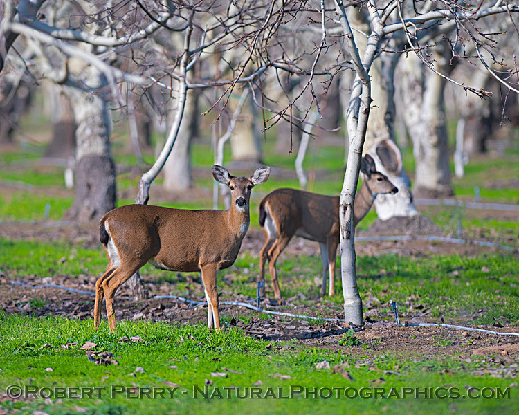 Odocoileus hemionus californicus Mule deer in orchard 2019 01-22 Gray Lodge--016
