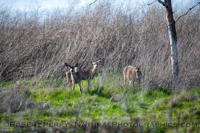 Odocoileus hemionus Mule deer 2019 02-06 Sac NWR--010
