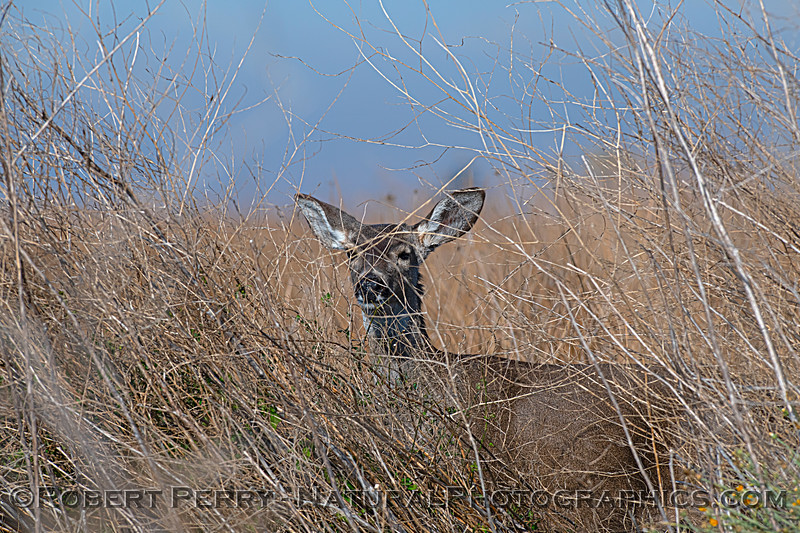 Odocoileus hemionus Mule deer 2020 12-30 Sac NWR--051