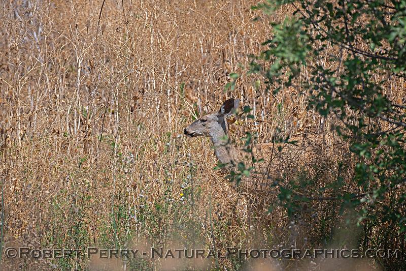 Odocoileus hemionus mule deer 2018 08-16 Sacramento NWR-- 003