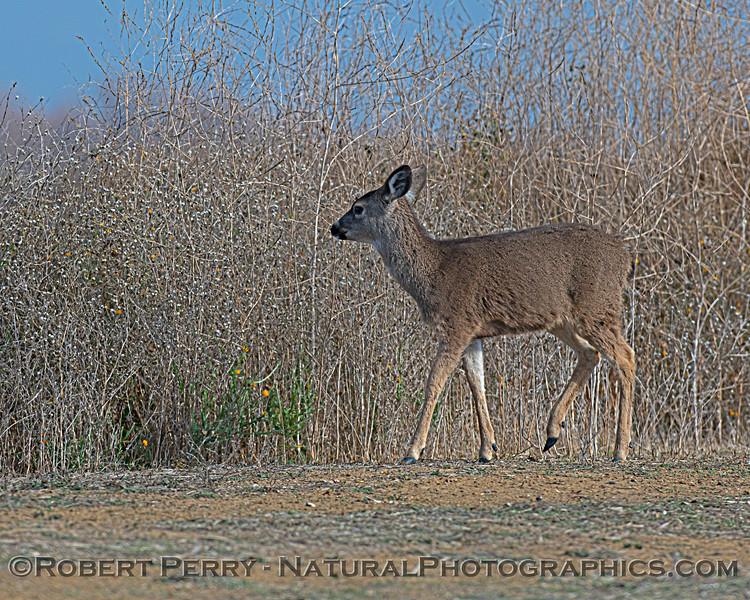 Odocoileus hemionus Mule deer 2020 12-30 Sac NWR--008