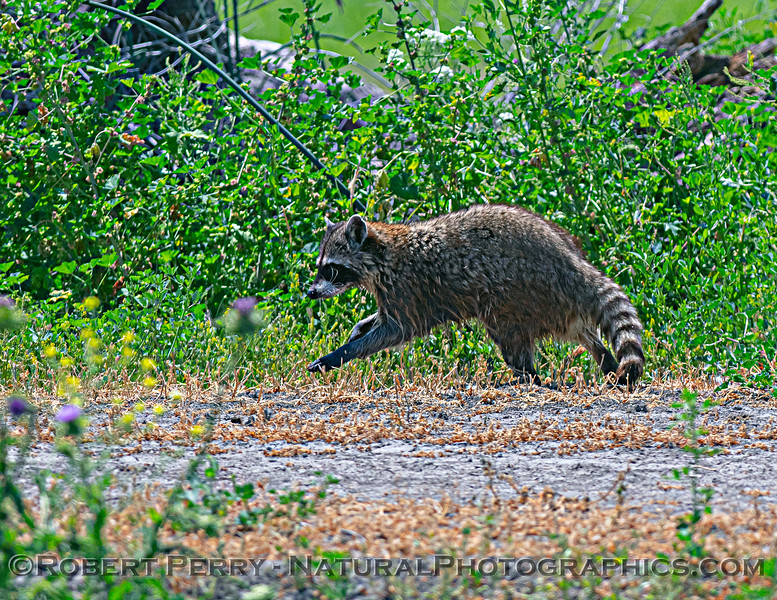 Procyon lotor Northern raccoon 2021 05-05 Gray Lodge--040