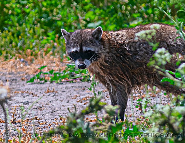 Procyon lotor Northern raccoon 2021 05-05 Gray Lodge--025